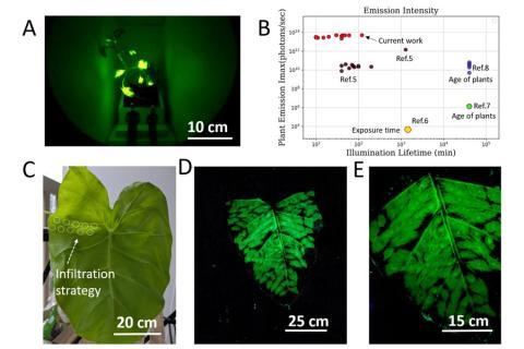 Ejemplos de plantas que brillan en la oscuridad.