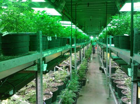 Una plantación de marihuana en Colorado (EEUU)