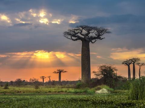 Baobabs en Madagascar