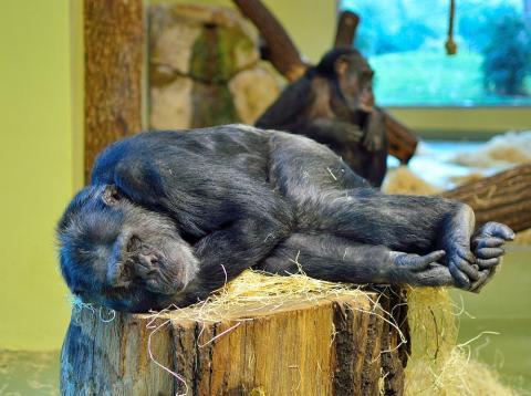 camas de los chimpancés más limpias que las humanas