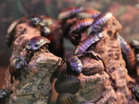 Cucarachas para cabar con los residuos en China