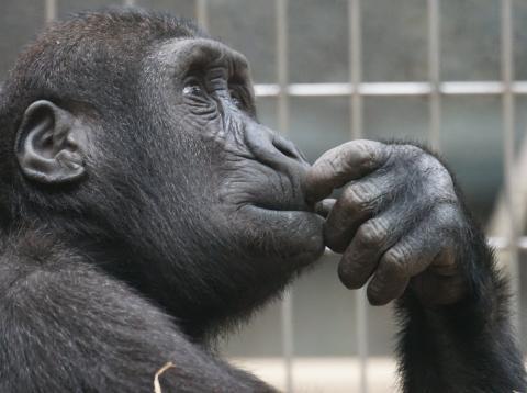 primate pensando