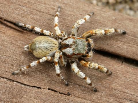 Matar a una araña no solo le costará la vida del arácnido, sino que estará haciendo que miembros de otras especies dañinas para el humano sigan viviendo.