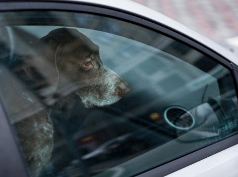 Perro en el interior de un coche
