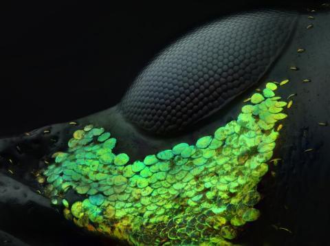 Las escamas verdes decoran el ojo de un gorgojo rojo asiático [RE]