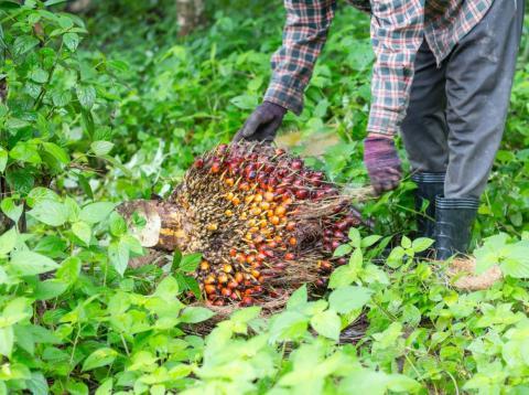 Un trabajador recoge el fruto de la palma aceitera