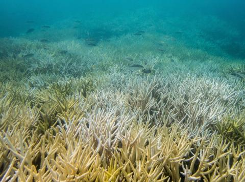 Severe bleaching outbreaks are hitting coral reefs four times more often they used to a few decades ago.