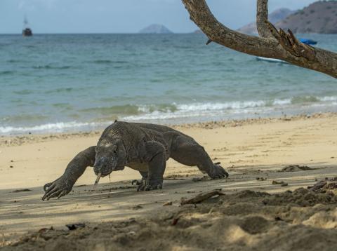 Un dragón de Komodo