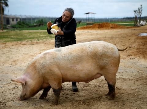 Un cerdo se para junto a un voluntario en Freedom Farm