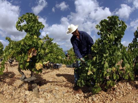 Un trabajador recoge uvas para hacer vino en Mallorca