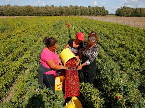 Women load red peppers into a sack in a field for a company producing powdered paprika, one of Hungary's best-known staples, in Batya, Hungary, September 26, 2016.