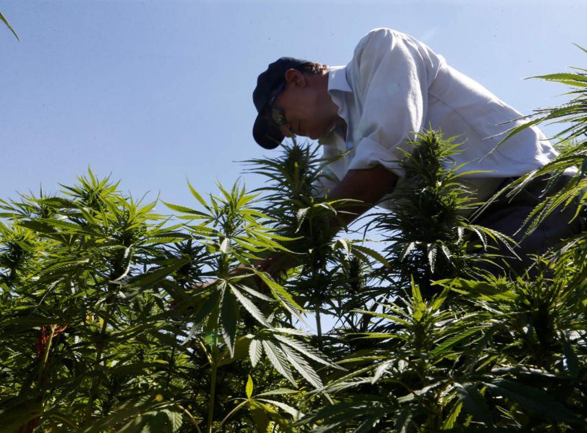 por-qué-el-cannabis-medicinal-puede-ser-una-ganga-para-invertir-pese-a-las-subidas-que-ya-ha-acumulado-en-los-mercados