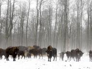 Bisons are seen at a bison nursery in the exclusion zone around the Chernobyl nuclear reactor near the abandoned village of Dronki, Belarus, January 28, 2016.