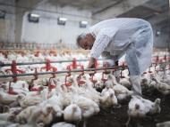 Granja avícola intensiva.