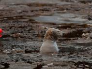 Oso polar en el Highland Wildlife Park en Kincraig, Escocia.
