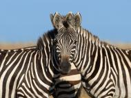 A photographer took an image of 2 zebras in Kenya, and no one can agree on which one is looking at the camera