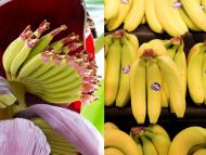 Banana plants can grow up to 30 feet in height. Shutterstock/Christopher Furlong/Getty