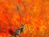 Canguro incendio forestal