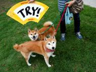 Dos perros Shiba Inu, la raza en la que se inspiró la criptomoneda Dogecoin.