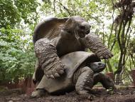 tortugas sexo hembra macho selección sexual