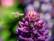 abeja polen flor