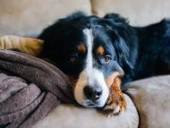 A Bernese mountain dog looking tired on a couch.