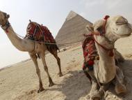 camello Egipto pirámide