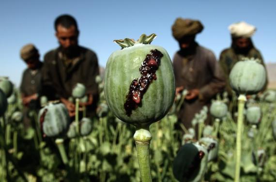 Afganos recolectan opio en un campo de amapolas, en una aldea del distrito de Golestan en la provincia de Farah, el 5 de mayo de 2009.