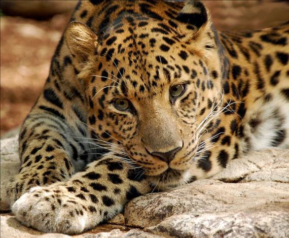 El solitario leopardo del Amur es uno de los felinos que más peligro corren.