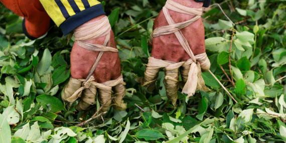 """Los dedos vendados de un """"raspachín"""", un trabajador que recolecta hojas de coca, durante la cosecha en una pequeña plantación en Guayabero (provincia de Guaviare, Colombia)."""