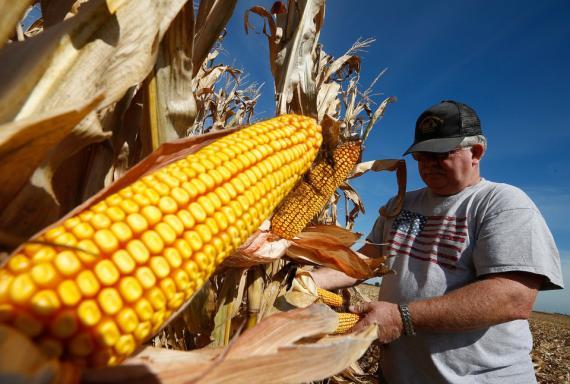 Mazorca de maíz [RE]