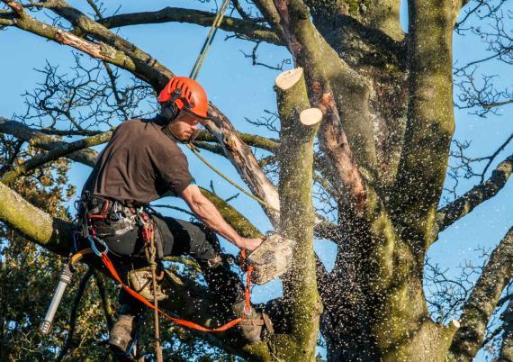 Un hombre tala las ramas de un árbol.