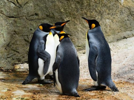 Toda una población de pingüinos rey está severamente amenazada en este momento ya que sus números continúan disminuyendo.