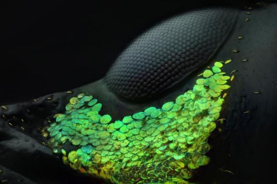 Las escamas verdes decoran el ojo de un gorgojo rojo asiático.