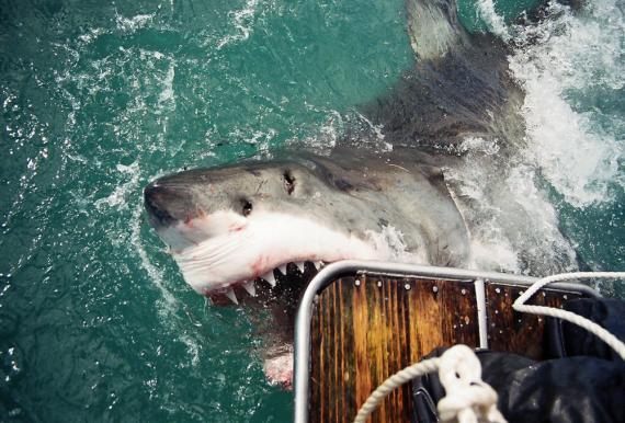 Gansbaai, tiburones