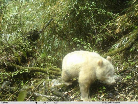The first ever documented photo of a fully white giant panda.