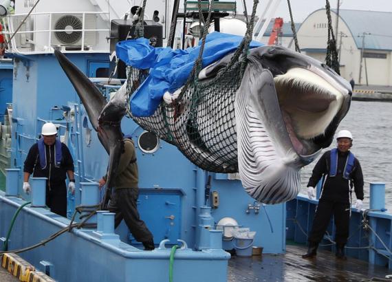 Japón ha reanudado la caza comercial de ballenas tras 31 años de moratoria.