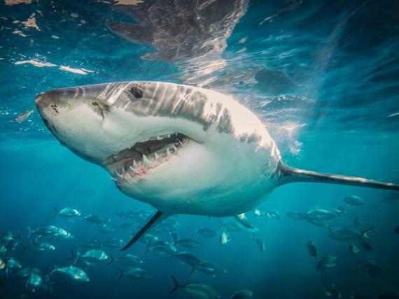 Los tiburones no son tan peligrosos como parecen.