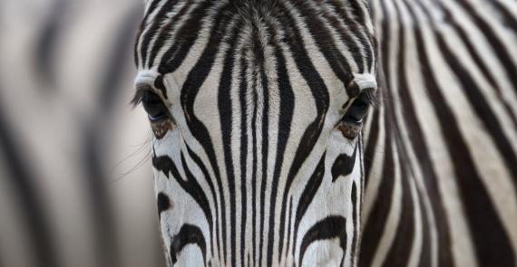 Cebra, animal