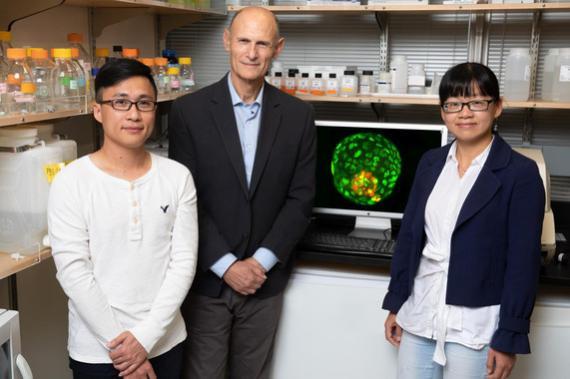 De izquierda a derecha los investigadores Ronghui Li, Juan Carlos Izpisúa y Cuiqing Zhong.