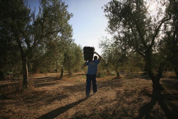 Un trabajador de la aceituna en La Rinconada, cerca de Sevilla.