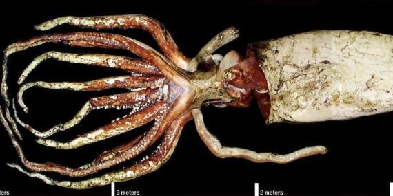 Esta carcasa de calamar gigante mide más de 5 metros de largo.
