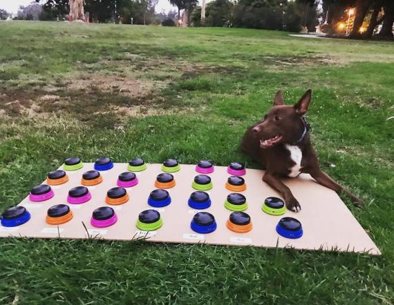 Stella, el perro que ha aprendido a hablar a través de botones que emiten palabras.