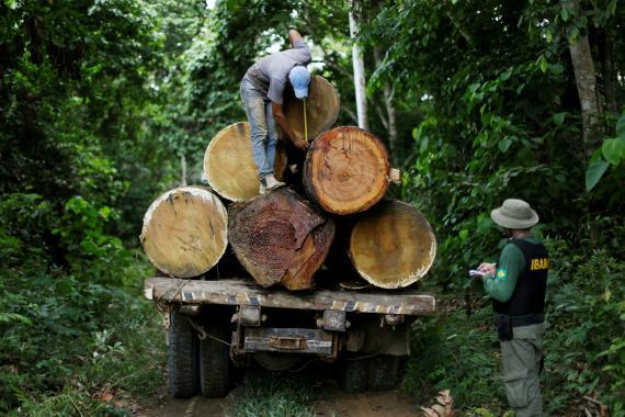 Un agente del Ibama mide la anchura de los troncos cortados para proteger al Amazonas de la deforestación en Brasil.
