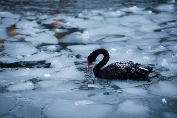 Un cisne negro en un lago helado en Ankara (Turquía)