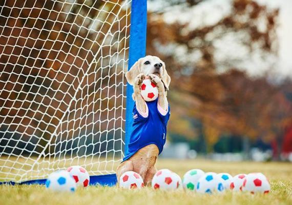 Purin el beagle atrapó 14 mini balones de fútbol en un minuto.