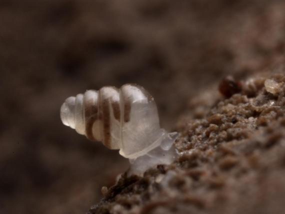 El caracol Zospeum tholussum, fotografiado en las cuevas de Lukina Jama-Trojama, en Croacia.