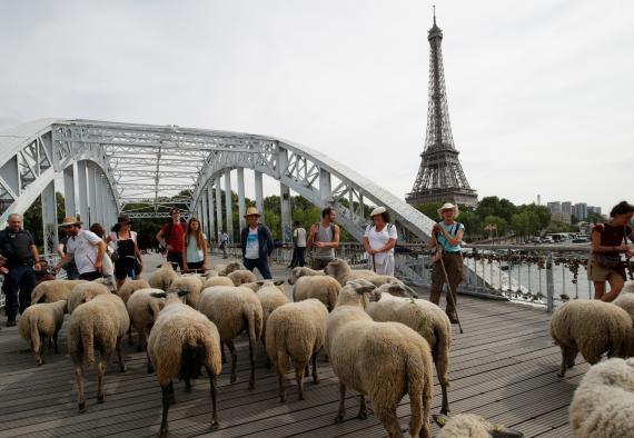 Un rebaño de ovejas en París.