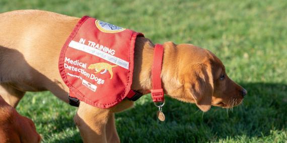 Perro de rastreo de Medical Detection Dogs en prácticas en Reino Unido.