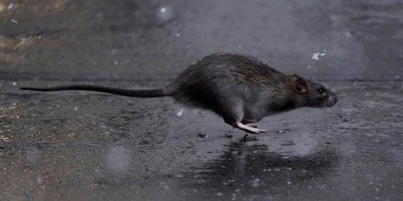 A rat in the Manhattan borough of New York City.